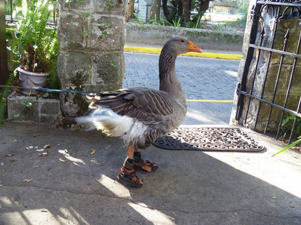 goose_with_sandals