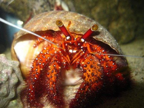 Red-hermit-crab-Dardanos-megistos-1024x768.jpg
