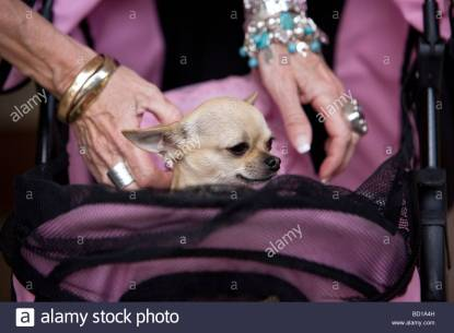 bentley-the-chihuahua-in-his-stroller-bd1a4h